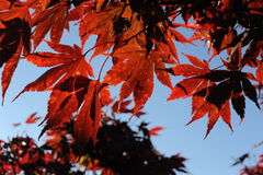 Red maple leaves during foliage in the autumn against blue sky Royalty Free Stock Photo