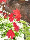 Red maple leaves in the forest. Red maple leaves forest europe colorful nature fall autumn tree green relax leaf beaty beatyinnature branch wood decor stock photos