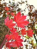 Red maple leaves in the forest. Red maple leaves forest europe colorful nature fall autumn tree green relax leaf beaty beatyinnature branch wood decor royalty free stock photography