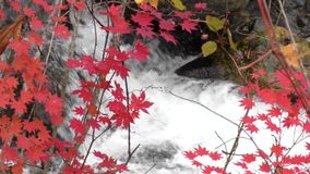 Red maple leaves stock video footage