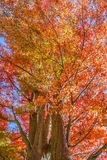 Red Maple leaves in a garden Stock Photography