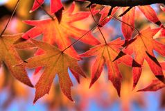 Red maple leaves, golden autumn Stock Photo