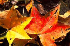 Red maple leaves, golden autumn Royalty Free Stock Images