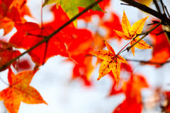 Red maple leaves, golden autumn Royalty Free Stock Photos