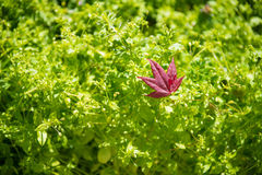 Red maple leaves on green Stock Photo