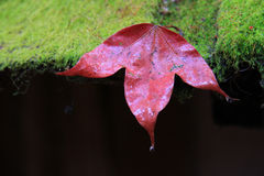Red maple leaves on green moss.  Royalty Free Stock Photo