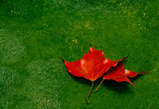 Red maple leaves on green stone moss. Red maple on ground stock photography