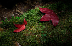Red maple leaves on green stone moss. Red maple on ground Stock Images