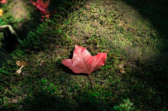 Red maple leaves on green stone moss. Red maple on ground royalty free stock photography