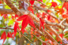 Red maple. Leaves on the ground Stock Image