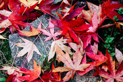 Red maple leaves on the ground Stock Image
