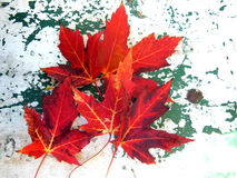 Red maple leaves on grunge background Royalty Free Stock Photography