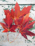 Red maple leaves on grunge table. Red maple leaves in autumn on grunge picnic table Stock Photos