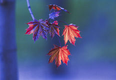 Red maple leaves hanging on a branch Stock Image