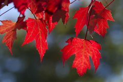 Red maple leaves. Hanging on a tree Royalty Free Stock Photo