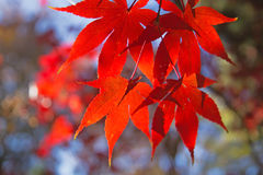 Red maple leaves. Horizontally. Royalty Free Stock Photo