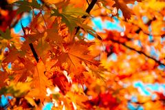 Free Red Maple Leaves In Autumn Season With Blue Sky Background. Selective Focus Stock Photography - 127526192