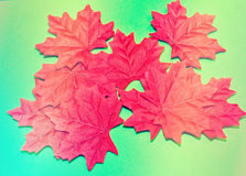 Red maple leaves. Isolated on green background stock photography