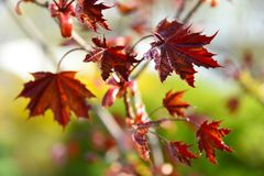 Red maple leaves lay on ground and around trunk of young birch tree trunk. Image shows Fall in Upper Peninsula, Michigan. Red maple leaves lay ground and around Royalty Free Stock Photo