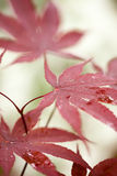 Red maple leaves macro Royalty Free Stock Photo