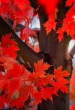 Red maple leaves. Red maples leaves showing trunk and leaves up close Royalty Free Stock Image