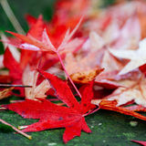 Red maple leaves and moss Royalty Free Stock Photography