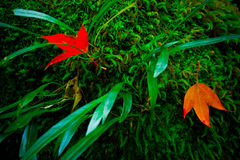 Red Maple leaves near waterfall area at Phukradueng National Par. K, Thailand royalty free stock photography