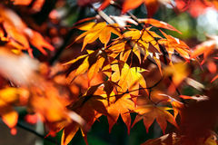 Red maple leaves in park. Red and yellow maple leaves in park royalty free stock photo