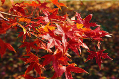 The red maple leaves Royalty Free Stock Photos