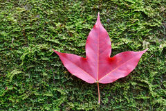 Red maple leaves on stone moss Stock Images