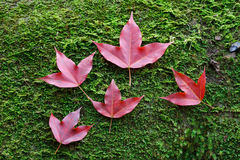 Red maple leaves on stone moss Royalty Free Stock Photo