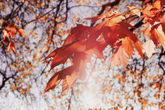 Red maple leaves in the sunny sunset light. Beautiful autumn background. Indian summer. royalty free stock images