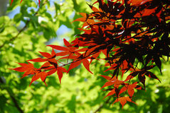Red maple leaves surrounded by green ones Royalty Free Stock Photo