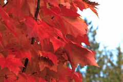 Red Maple Leaves. On a maple tree Stock Photo