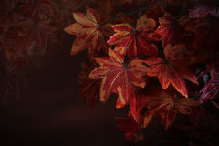 Red maple leaves on tree branch with red blurry background use as natural winter autumn fall background or backdrop and multipurpo Royalty Free Stock Photography