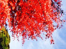 Red maple leaves and trees Royalty Free Stock Photo