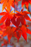 Red maple leaves. Vertically. Stock Photos