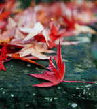 Red maple leaves on wall with moss Stock Photo
