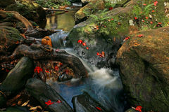 Red maple leaves at waterfall of Phu Kradueng Royalty Free Stock Photos