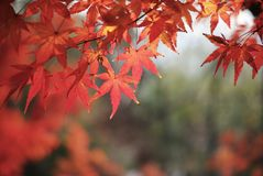 Red Leaves at Xixia Mountain, Nanjing China. Red maple leaves at Xixia Mountain, Nanjing, China Stock Photo