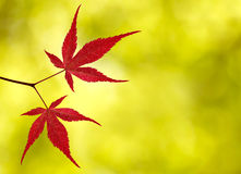 Red maple leaves on yellow background Royalty Free Stock Images