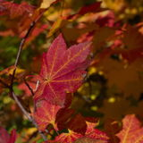 Red maple leaves with yellow veins Stock Image