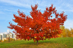 Red maple in Moscow autumn park Stock Photo