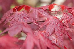 Red maple after rain stock photos