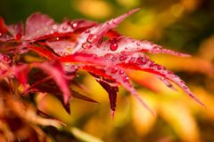 Red maple with rain drops. On red yellow Shallow colored background royalty free stock photos