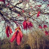 Early spring trees with red maple seeds. Red maple seeds stock images