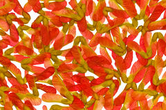 Red maple seeds. Figures from the seeds of red maple royalty free stock photos