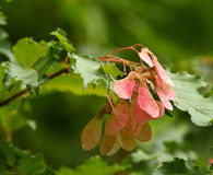 Red Maple Seeds. Red maple helicopter seeds on green tree branch with leaves Royalty Free Stock Photo