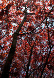 Red Maple Splendor Stock Image