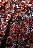 Red Maple Splendor Stock Image